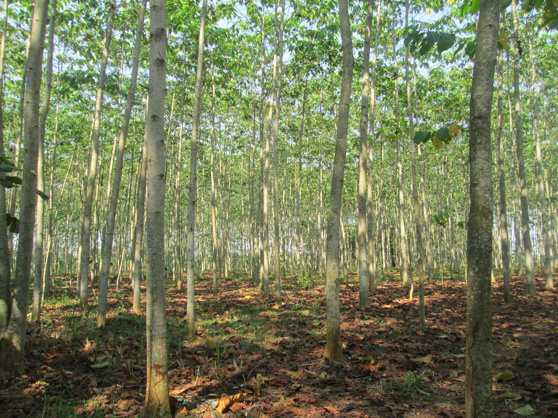 Hutan Rakyat Batang